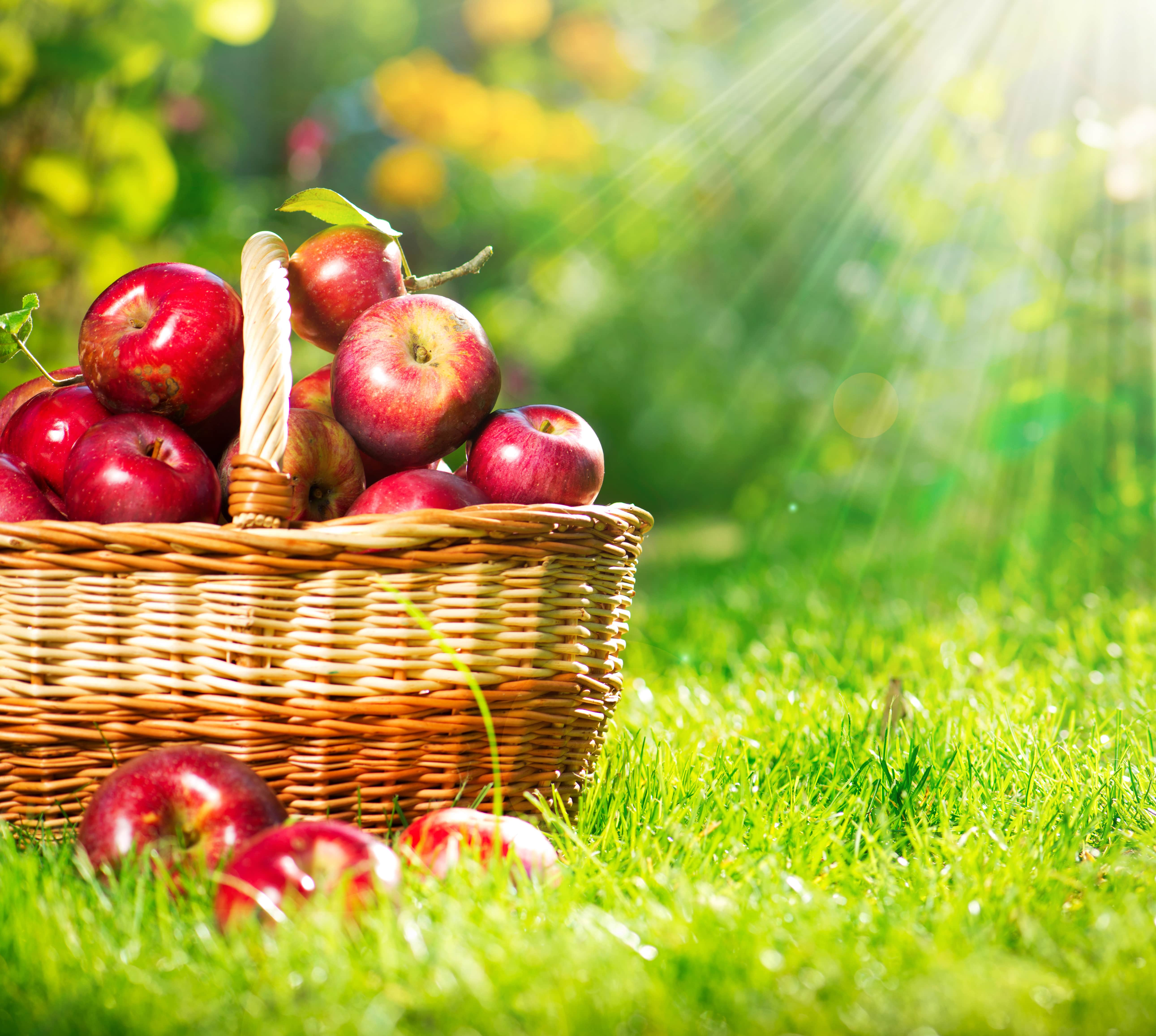 Apples: all you need to know about apples cultivation